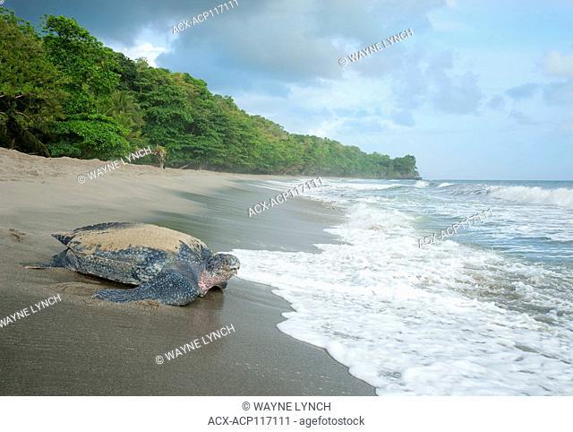 Nesting leatherback sea turtle (Dermochelys coriacea), Grande Riviere beach, Trinidad
