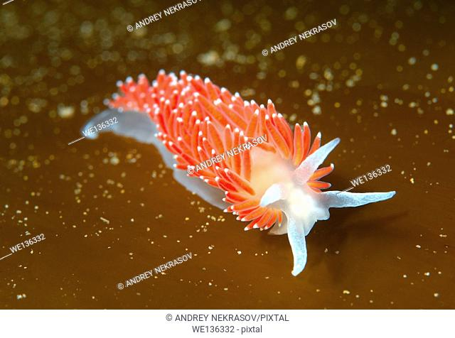 Nudibranch or Sea Slug ( Flabellina verrucosa ) Sea of Japan, Rudnaya Pristan, Far East, Primorsky Krai, Russia