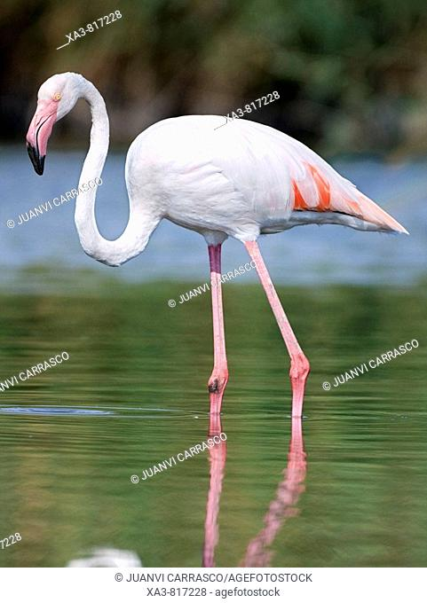 Flamingo Phoenicopterus roseus on lagoon