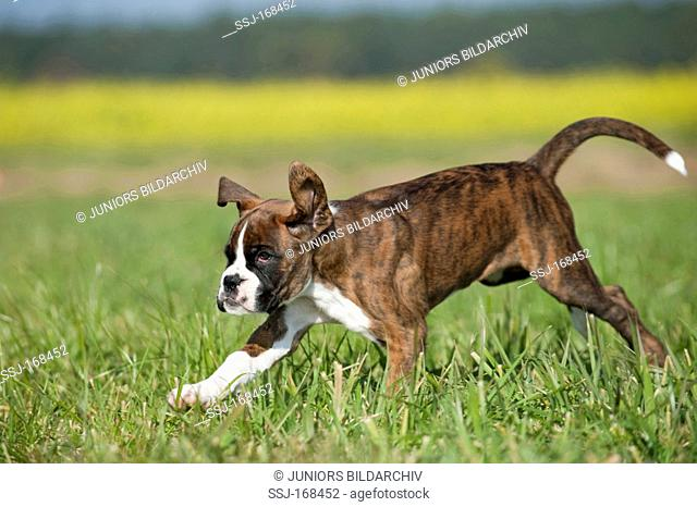 Boxer. Puppy running on grass