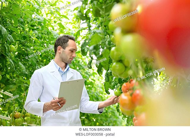 Scientist in greenhouse examining tomatoes