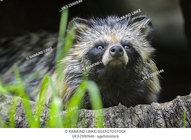 Raccoon Dog, Nyctereutes procyonoides, Sitting in Hollow Log