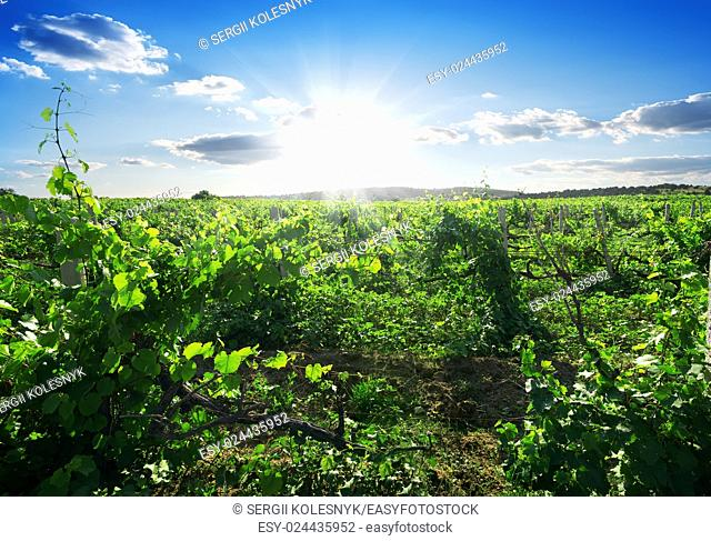 Beautiful sunny day in the summer vineyard