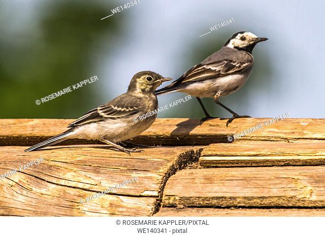 Germany, Saarland, Homburg, Two white wagtails on a wooden beam