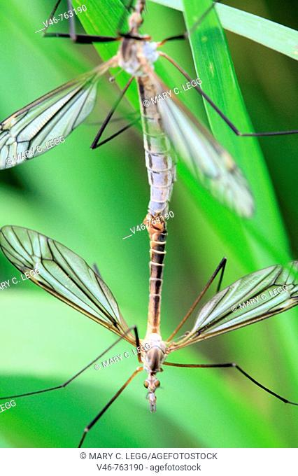 Mating European crane flies  tipula paludosa mating craneflies hang from a blade of grass in May. Craneflies mate in clouds in parks and grasslands in May