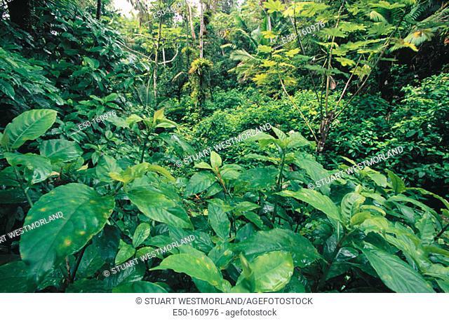 El Yunque Rainforest. Puerto Rico