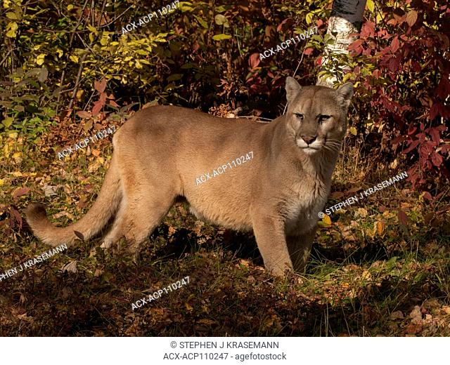 Cougar or mountain lion (Puma concolor), captive, standing in autumn colored forest