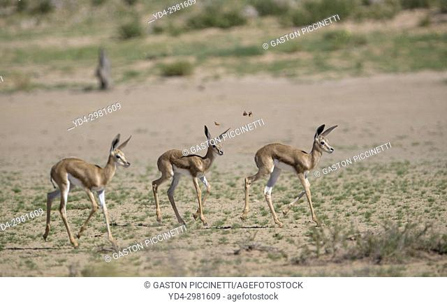 Springbok (Antidorcas marsupialis), Kgalagadi Transfrontier Park in rainy season, Kalahari Desert, South Africa/Botswana