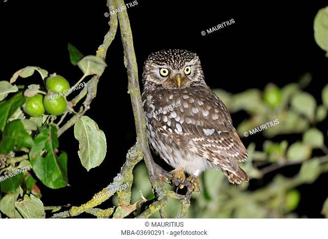 Little owl, apple tree, Bavaria, Germany
