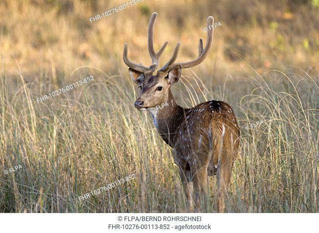 Spotted Deer (Axis axis) adult male, with antlers in velvet, looking over shoulder, standing in grass, Kanha N.P., Madhya Pradesh, India, March