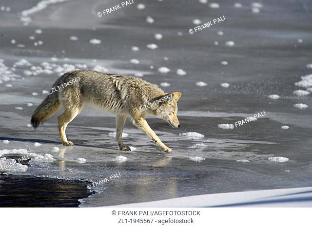 Coyote Canis latrans being careful crossing the ice while hunting along roadside at Yellowstone National Park, Mammoth Hot Springs, Wyoming, USA