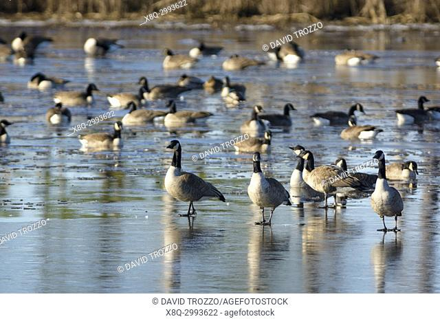 Canada Geese at Blackwater National Wildlife Refuge, Cambridge, Maryland, USA