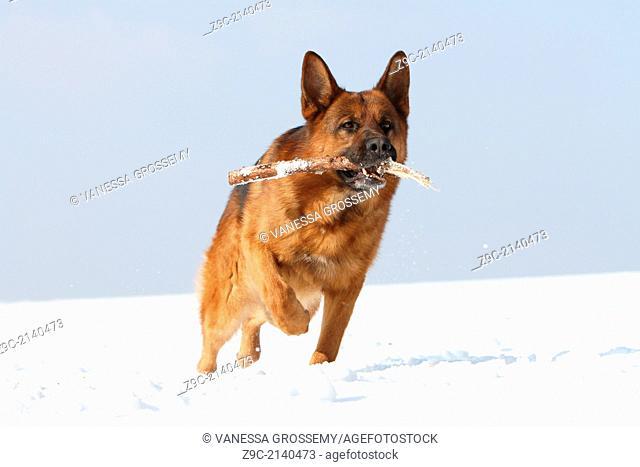 Dog German Shepherd Dog / Deutscher Schäferhund adult dog brings a stick in the snow