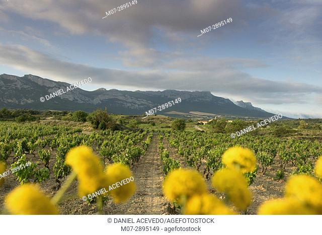 Leza vineyards and Cantabria range mountains, La Rioja wine region, Álava, Spain, Europe