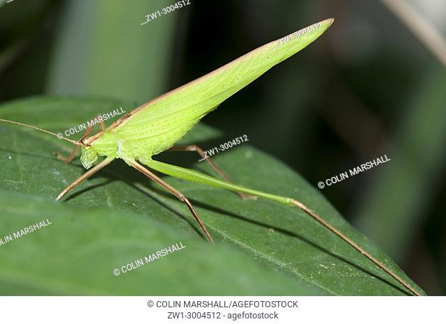 Katydid (aka Bush Cricket) (Orthoptera order, Tettigoniidae family), on leaf, lunkung, Bali, Indonesia