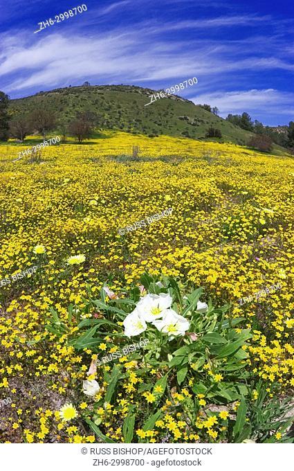 Evening Primrose (Oenothera californica), Goldfields (Lasthenia californica), Coastal Tidy Tips (Layia platyglossa), and California Dandelion (Malacothrix...
