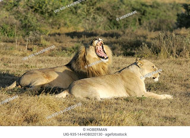 Yawning Lion and Lioness, Shamwari Eagles Crag Private Safari Lodge, Eastern Cape, South Africa, Africa
