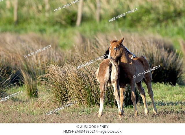 France, Camargue, Camargue horse (Equus caballus), foals washing