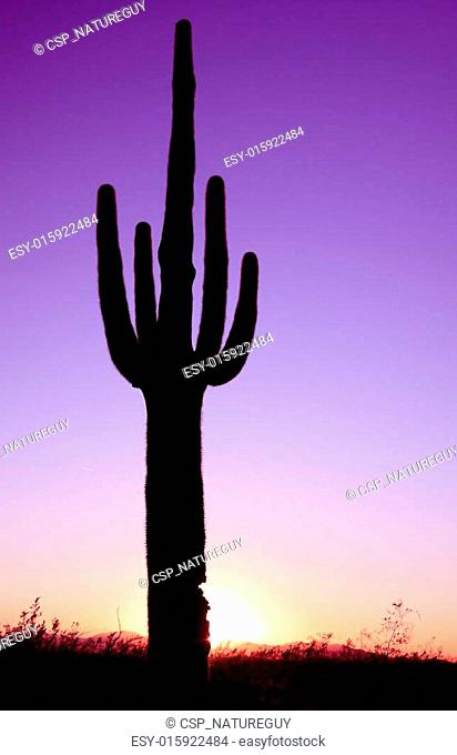 Saguaro in Sunrise
