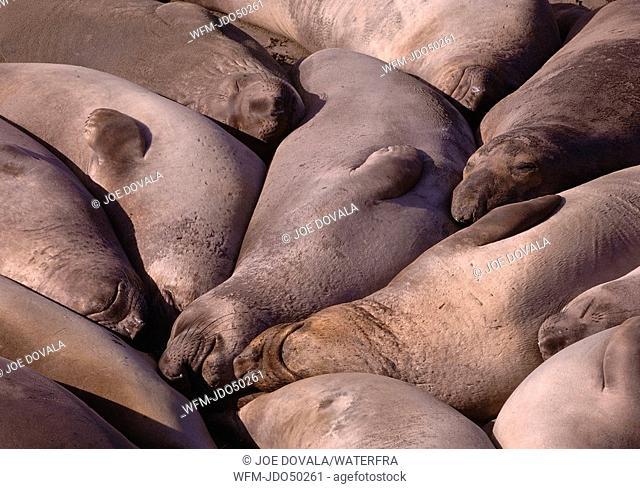 Northern Elephant Seals, Mirounga angustirostris, San Simeon, Pacific, California, USA