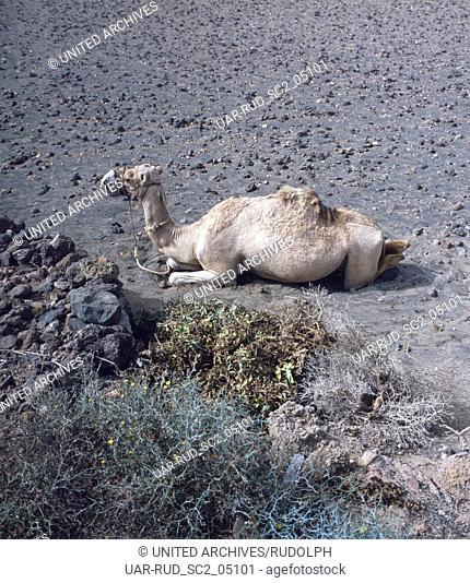 Kamel in den Montanas del Fuego, den Feuerbergen, auf der Kanarischen Insel Lanzarote, Spanien 1980er. Camel in the Montanas del Fuego