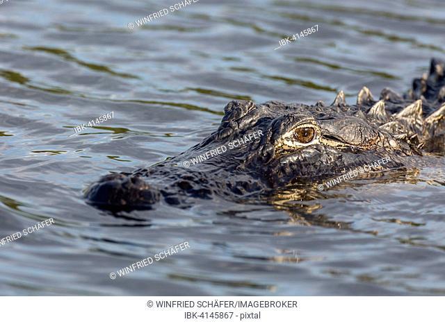 American alligator (Alligator mississippiensis) in water, Everglades National Park, Florida, USA
