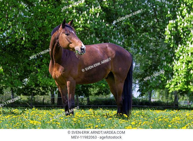 Horse, -Trakehner - Schleswig-Holstein, Germany