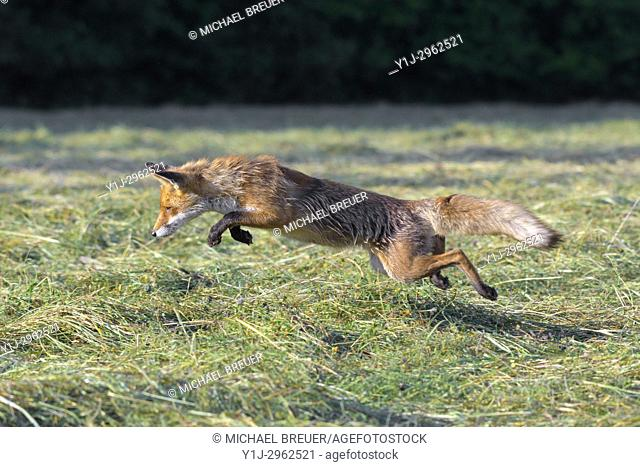 Jumping red fox (Vulpes vulpes) on mowed meadow, Hesse, Germany, Europe