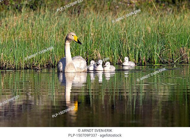Whooper swan (Cygnus cygnus) adult swimming in lake with cygnets in spring in Scandinavia