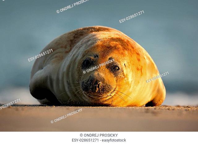 Atlantic Grey Seal, on the sand beach