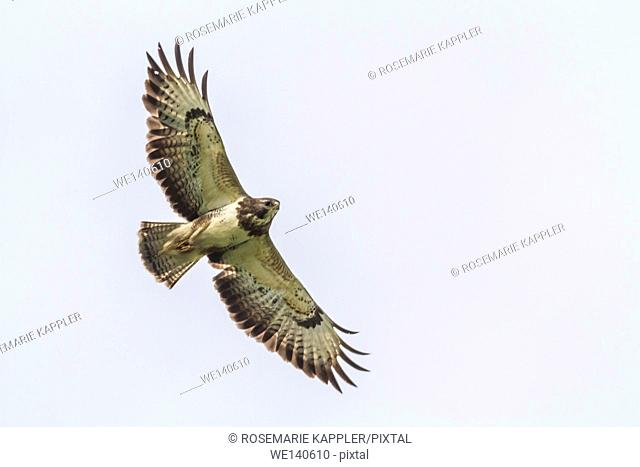 Germany, Homburg, A common Buzzard in flight