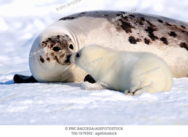 Mother and pup harp seals touching nose to recognize mutually Phoca groenlandicus Magdalen Islands, Quebec, Canada