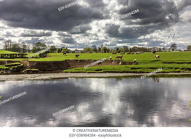 A field of beef cattle on lush green grass in the sunshine with stormy clouds overhead reflected in the Riveer Nith