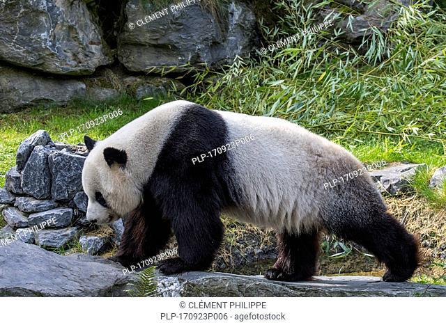 Giant panda (Ailuropoda melanoleuca) juvenile in zoo with bamboo as food