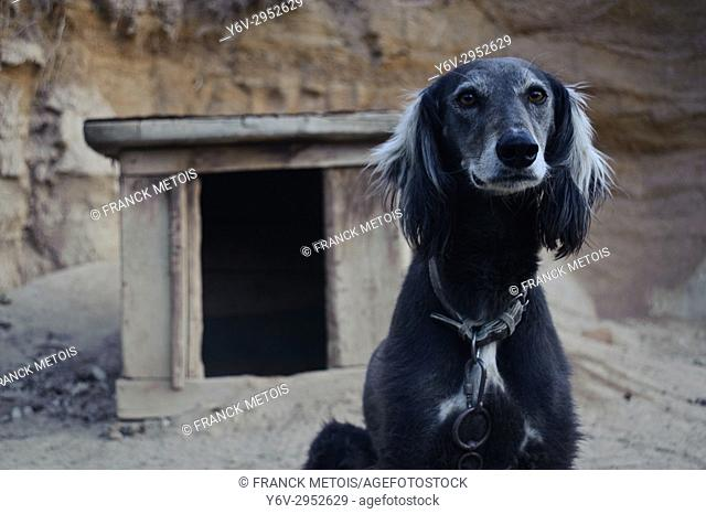 Taigan dog ( Kyrgyzstan). The taïgan is a local greyhound used as a hunting dog by eagle hunters