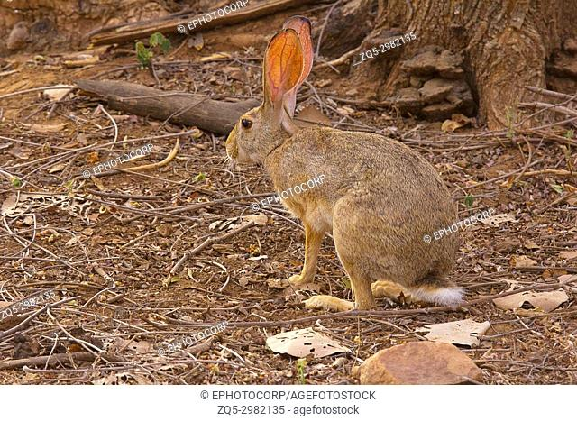 Indian Hare, Lepus nigricollis, Bandhavgarh Tiger Reserve, Madhya Pradesh, India