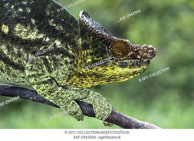 Male Panther Chameleon Giant Yellow(Calumma parsonii), Chameleonidae), endemic to Madagascar, Andasibe National Park, Madagascar