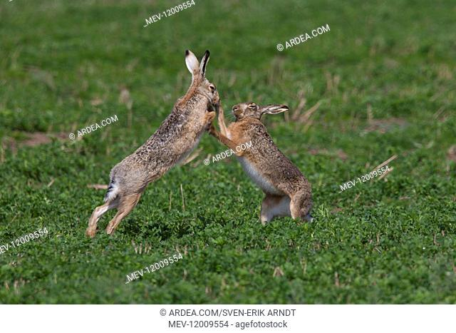 European Brown Hare - adult hares boxing - Germany