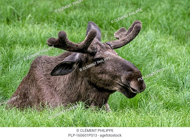 Moose (Alces alces) bull with antlers covered in velvet lying in grassland in spring