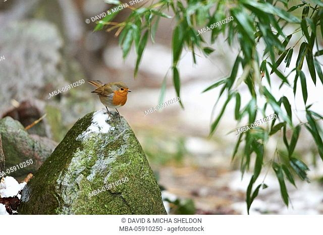 Robin, Erithacus rubecula, winter, stone, side view, sit