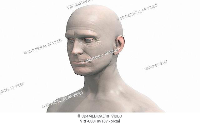 Animation depicting a zoom into the head of a 3D man. The brain becomes visible inside the head, showing a color coded cross section