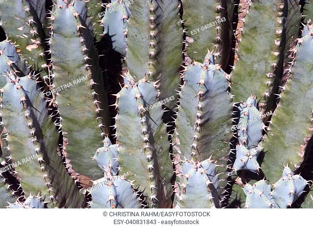Cactus plants with thorns closeup on a sunny afternoon in Mallorca, Spain