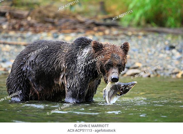 Grizzly bear Ursus arctos horribilis with freshly caught Pink salmon or humpback salmon Oncorhynchus gorbuscha in the Great Bear Rainforest in British Columbia