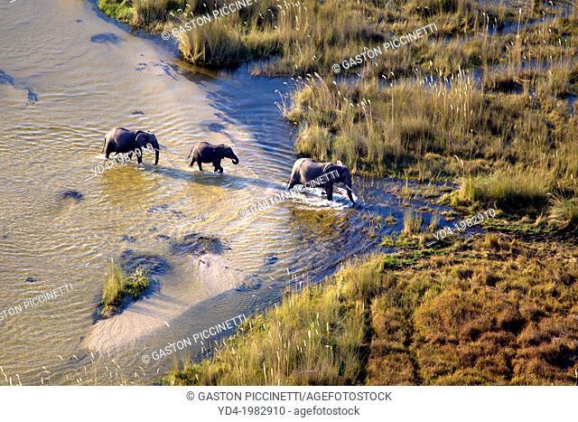 African Elephant (Loxodonta africana). Aerial View of the Okavango Delta, Botswana