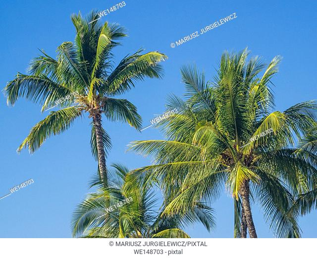 Coconut Palm (Cocos nucifera) is a large palm with pinnate leaves