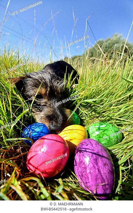 Wire-haired Dachshund, Wire-haired sausage dog, domestic dog (Canis lupus f. familiaris), wire-haired sausage dog finding coloured eggs on grass, front view