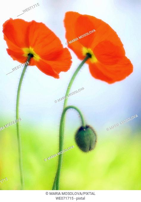 Two Red Poppies and a Bud. Papaver nudicaule. March 2007, South Carolina, USA