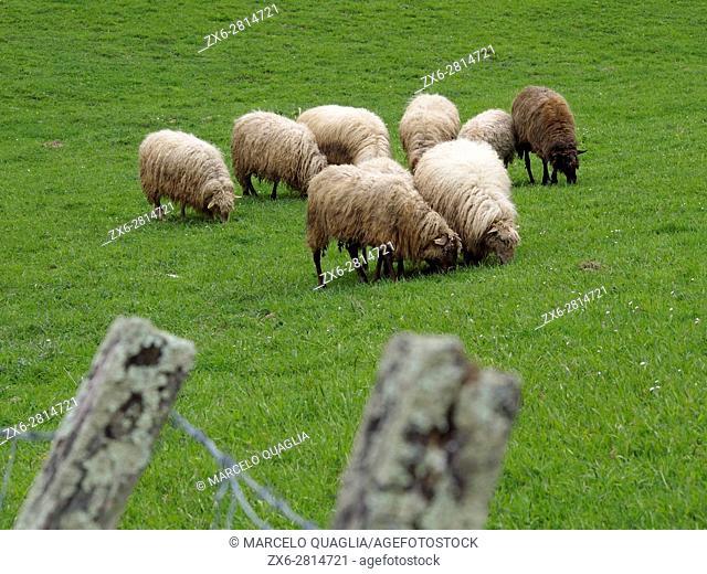 Latxa sheep (Ovis aries) specific Basque breed. Urkiola Natural Park. Axpe village. Bizkaia province. Euskadi. Spain