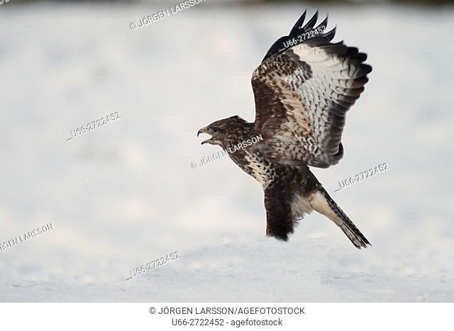 Sweden, Sodermanland, Bjornlunda, Common Buzzard (Buteo buteo) flying with spread wings