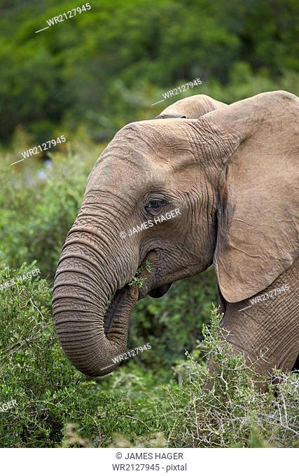 African elephant (Loxodonta africana) eating, Addo Elephant National Park, South Africa, Africa